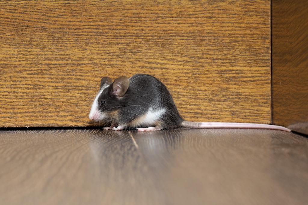 家にいるネズミ