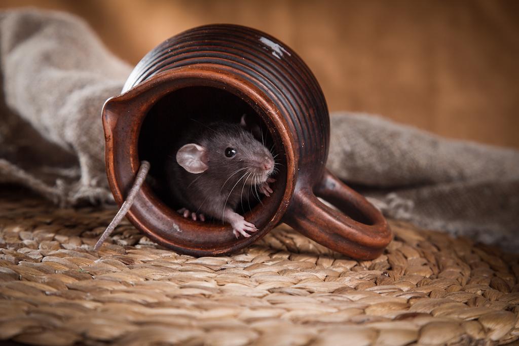 ネズミは暖かい場所が好き?冬に被害が多くなる?